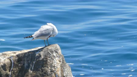 öfkeli : Closeup of seagull on a rock in the sunny day