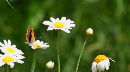 опылять : Closeup of orange butterfly on a daisy in a sunny day Стоковые видеозаписи