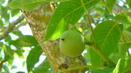 walnut tree : Closeup of fresh walnuts on a tree in sunny day of summer Stock Footage