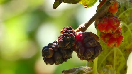 zámotek : Closeup of multicolored mulberries on the tree in sunny day