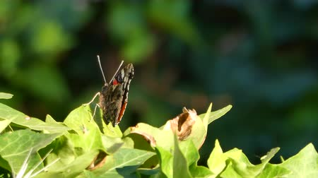lagarta : Closeup of butterfly on ivy leaves