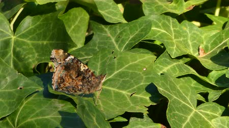 housenka : Closeup of butterfly on ivy leaves