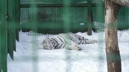 állatkert : White tiger resting in the cage