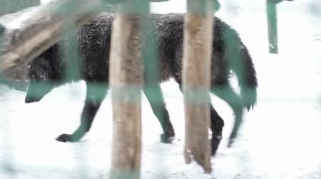 farkas : Black wolf walking in the cage on snow