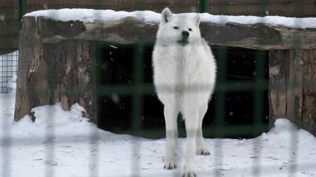 gaiola : White wolf walking on the snow in the cage and earning