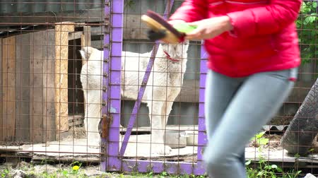 dog pound : Big white dog walking in the cage