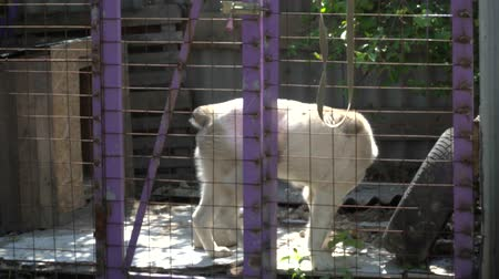 dog pound : Big white dog in the cage