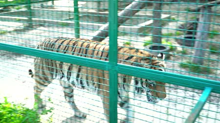 ér : Beautiful tiger in the cage during the summer Stock mozgókép