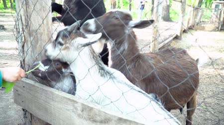 billy goat : A little baby feeding the goats in the zoo
