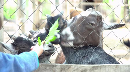 billy goat : A little baby feeding the goats in the zoo closeup