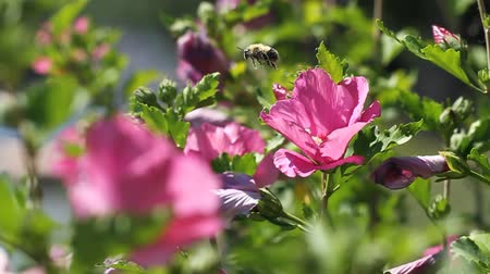 yabanarısı : Rose of Sharon Intoxicated Bee. three separate clips. slow motion  first clip is a bumblebee landing in a flower. second clip is the same bumblebee, drunk on pollen, trying to fly out of the flower and flying to another. third is a bonus fast clip of bee