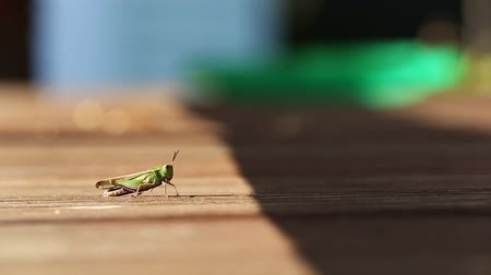 düşük : Walking Grasshoper. a grasshopper slowly walks from left to right towards the shade. shallow depth of field. low angle
