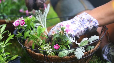 ogrodnik : Place Flower in Hanging Basket Right. camera dollies right as person places flower in hanging basket and places soil in and rearranges.