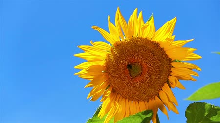 girassóis : Sunflower Slow Motion Close Up. a close up shot of a sunflower against a blue sky, slow motion Vídeos
