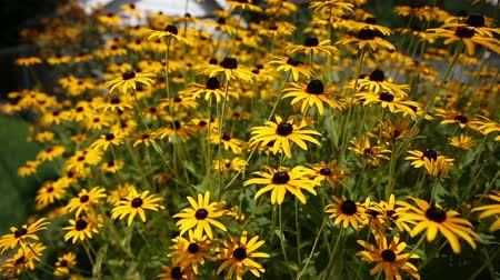 esquerda : Black Eyed Susan Flowers. camera dollies left and right on a group of black eyed susan flowers, selective focus