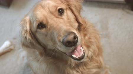 kapatmak : Golden Retriever Looks Back at Camera. Golden retriever dog is looking away then looks back panting, then looks away. Various shots. Stok Video