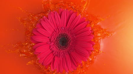 Pink Daisy Gerbera Flower is Thrown into the Orange Water Splattering with Drops in Slow Motion a Top Shot at 1500 fps Wideo