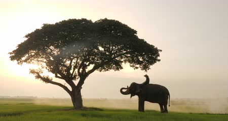 savana : Silhouette of Elephants and mahouts in the morning a midst natural scenery.