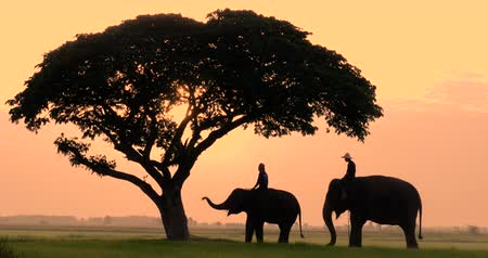 marfim : Silhouette of Elephants and mahouts in the morning a midst natural scenery.