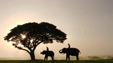 слоновая кость : Silhouette of Elephants and mahouts in the morning a midst natural scenery.