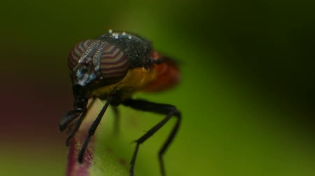 percevejo : Fly Close Up Macro