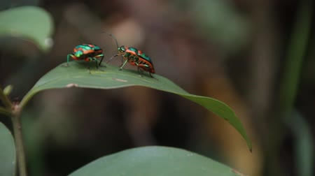 diptera : Jewel bugs, Shield Backed Bugs - Family Scutelleridae