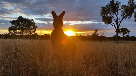 australiano : Kangaroo Wallaby australiano Sunset Landscape