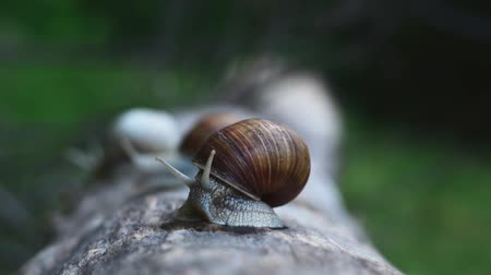 caracol : Video of a snail on a log in the wood