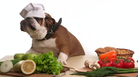 buldog : English Bulldog as a chef in funny cap Wideo