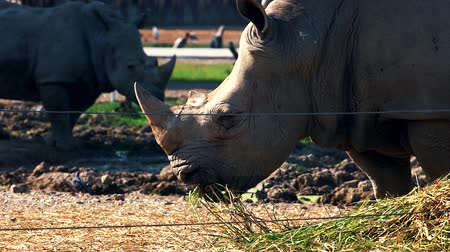 rhinocerotidae : Southern white rhinoceros in zoo