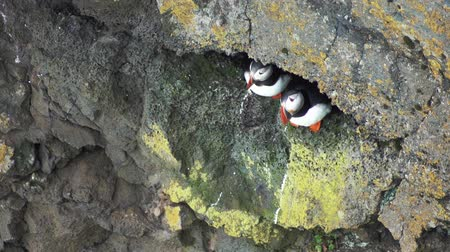 arctica : Atlantic Puffins at latrabjarg rock nest Stock Footage