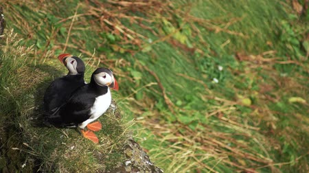 arctica : Atlantic Puffins hunting at latrabjarg