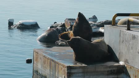 egemen : sea lion lies at the sea lion rookery on Kamchatka Stok Video