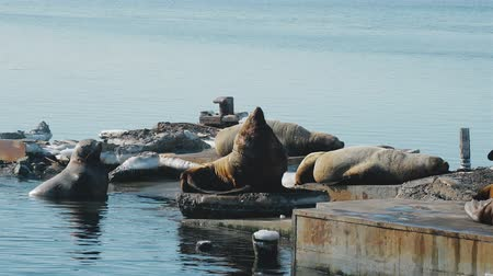 dominante : sealions at the sea lion rookery on Kamchatka