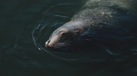 egemen : huge sea lions swim in the waters of the icy Pacific Ocean