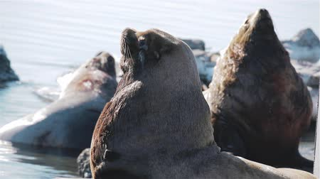 marine park : sea lions looking at the sea lion rookery on Kamchatka Stock Footage