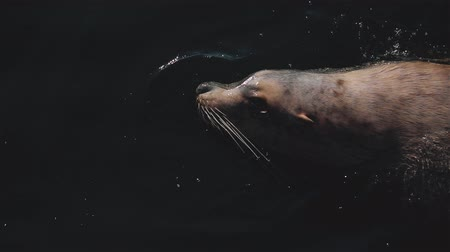 egemen : huge sea lion swim in the cold waters of the icy Pacific Ocean in the Kamchatka region