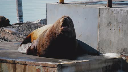 egemen : huge fat sea lion at the sea lion rookery on Kamchatka
