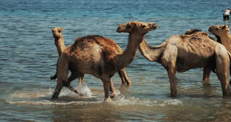 tunezja : camels trained at seaside, owners let them swim so they can learn to run fast.