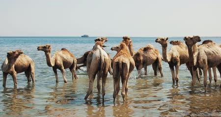 dromedaris : Camels Crossing a River at Desert in Dahab Stockvideo