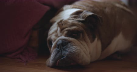 buldok : Tired English Bulldog sleeping on the floor