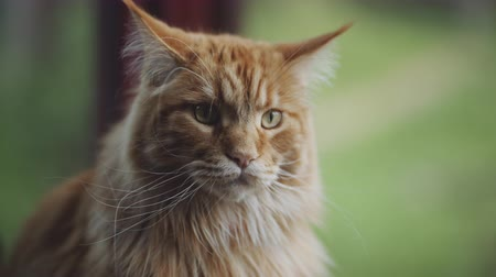 breeder : orange maine coon cat near window