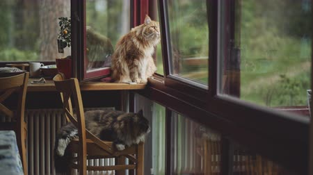 two maine coon cats at home Stock mozgókép