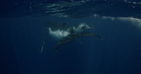 buzağı : Whale calf Humpback swims with mom underwater in ocean. Megaptera Novaeangliae whale underwater in water. Footage shot on a cinema camera with 14 bit colors in Raw