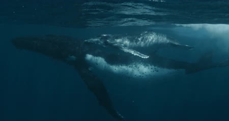 кит : Close-up of humpback whale calf with mother underwater ocean. Idyll and harmony of family life of huge calm marine animals Footage shot on a cinema camera with 14 bit colors in Raw