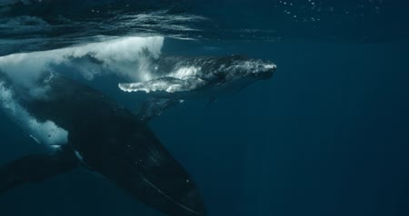 タヒチ島 : Mother and Calf Humpback whale during migration in Indian Ocean. Footage shot on a cinema camera with 14 bit colors in Raw