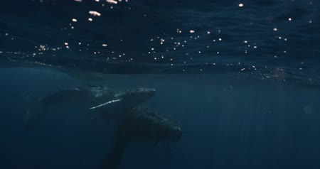 born calf : A young Humpback whale (Megaptera novaeangliae) swims at the surface of the Caribbean Sea, near where it was born. Footage shot on a cinema camera with 14 bit colors in Raw Stock Footage