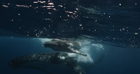 кит : Close-up of humpback whale calf with mother underwater ocean. Whale in pure transparent water of Reunion island. Footage shot on a cinema camera with 14 bit colors in Raw Стоковые видеозаписи