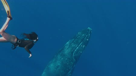 potápěč : Snorkeling Asian Lady With a Huge Whale in The Background, Whales swim in the Pacific Ocean of the kingdom of Tonga. Footage shot with action camera Dostupné videozáznamy