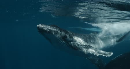 wieloryb : Close-up of humpback whale calf with mother underwater ocean. Idyll and harmony of family life of huge calm marine animals Footage shot on a cinema camera with 14 bit colors in Raw